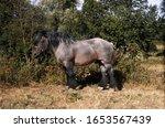 Ardenese Horse Standing On Dry...