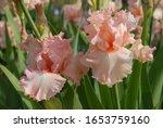 Tall Bearded Iris  Happenstance ...
