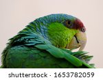 Lilac Crowned Amazon Parrot...
