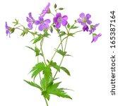 Stock photo meadow geranium geranium pratense flower isolated on a white background 165387164