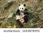 Giant Panda bear. Happy animal eating. Jungle wildlife background. Big funny Panda having dinner in Zoo. chengdu base of giant panda breeding in China.