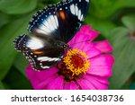 Eggfly Butterfly  Java...
