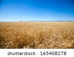 A Large Barley Field In Rural...