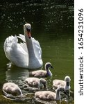 Swan In Lake With Its Cygnets