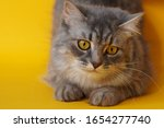 Gray Fluffy Playful Cat With...