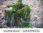 Old Tree Stump With Green Moss...