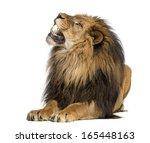Lion Lying  Roaring  Panthera...