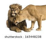 Lion And Lioness Cuddling ...