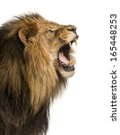 Stock photo close up of a lion roaring isolated on white 165448253