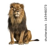 Stock photo lion sitting looking away panthera leo years old isolated on white 165448373