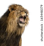Stock photo close up of a lion roaring panthera leo years old isolated on white 165448379