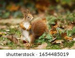 Adorable Red Squirrel  Sciurus...