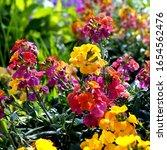 Small photo of Erysimum aka Wallflower flowers outdoors. Pretty mauve flowers of Perennial wallflower plants genus Erysimum, or Cheiranthus, sometimes called Gillyflower. Bright and perfumed spring garden plants