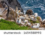 Gannet bird colony  morus...