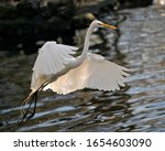 Great White Egret Bird Close U...
