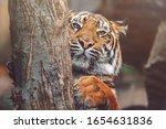 Sumatran Tiger  Panthera Tigri...