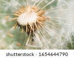 Dandelion Flower With Dandelion ...