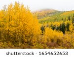 Changing Aspen Trees   Autumn...