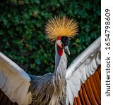 West African Crowned Crane Or...