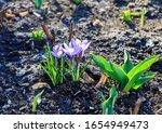 Flowering Violet Crocus In...
