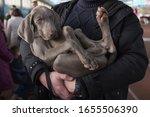 Weimaraner Puppy Dog In The...