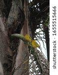 Two Yellow Saffron Finch  A...