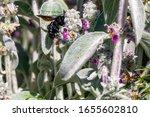 Violet Carpenter Bee In A Field ...