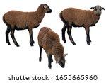 Sheep posing. portraits on...