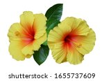 Yellow Hibiscus On White...