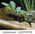 Elephant Nose Fish, gnathonemus petersii