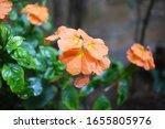 Orange Firecracker Flower...
