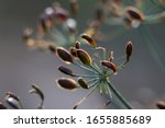 Closeup Of Dill Seeds On A...