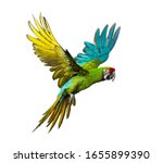 Military Macaw  Ara Militaris ...