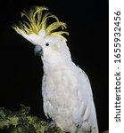 Small photo of Lesser Sulphur-Crested Cockatoo, cacatua sulphurea, Adult with crest raised