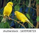 Yellow Canaries  Serinus...