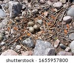Small photo of Guide of bird nests. European oyster catcher (Haematopus ostralegus) nest is made of small stones on rocky coast of Islands in Eastern part of Gulf of Finland. Rodscher island, Baltic sea
