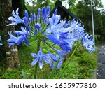 Lily Of The Nile  Agapanthus....