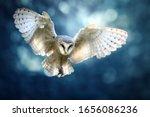 Hunting Barn Owl In Flight. ...