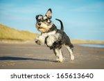 Stock photo schnauzer 165613640