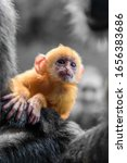 Baby Silvery Lutung In Borneo