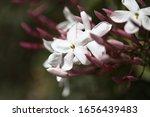 Flowering Jasmine Natural Macro ...
