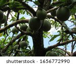 Calabash Tree And Fruit ...