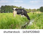 Cow Drinking Water On The Bank...