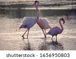 Pink Flamingos Fighting In...
