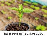 Pepper Seedlings In Plastic...