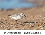 Portrait Of Adult Sanderling ...