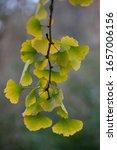Small photo of Ginkgo biloba Maidenhair Tree Backlit in Autumn