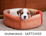 Stock photo jack russell terrier holiday new year interior christmas 165711410