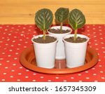 African Violet Propagation...