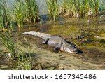 American Alligator In Water An...